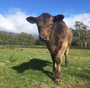 Aggie the Angus heifer calf looks at the camera