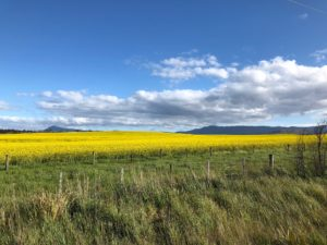 A sweeping vista with green grass in the foreground, yellow canola in the mid-ground and blue sky in the background